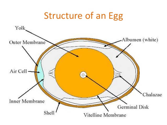 Struktur Egg Source: https://www.slideshare.net/gihanwijelath5/the-egg-51976843